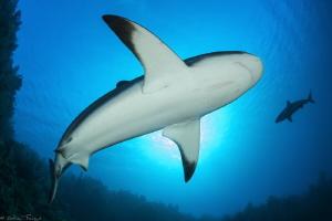2 Caribbean reef sharks by Mathieu Foulquié