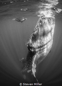 Whaleshark aggregation of Isle Mujeres. No strobes or Scu... by Steven Miller