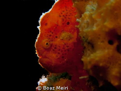 Red Frogfish by Boaz Meiri