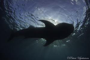 Whale shark silouette by Petteri Viljakainen
