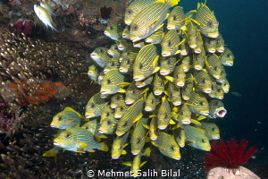 Sweetlips and glass fish. Nikon D800, Nikkor 16-35 and Ze... by Mehmet Salih Bilal