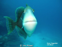 Palau Triggerfish.  Apparently, we were near the nests of... by Jim Moser