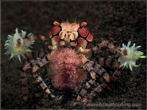 Boxer crab :) by Gregory Sin