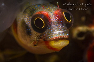 Blenny smile, Acapulco Mexico by Alejandro Topete
