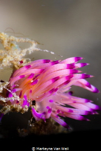 A flabellina rubrolineata showing its vibrant colours whi... by Marteyne Van Well