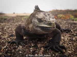 This marine iguana on the Galapagos Islands was photograp... by Marc Van Den Broeck