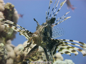 This shot was taken on the house reef at the Sheraton Hot... by Maria Machin