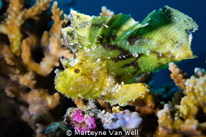 Portrait of a juvenile leaf fish at the house reef at Six... by Marteyne Van Well