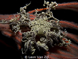 Found this Basket star at 30m in Hermanus, Western Cape, ... by Leon Van Zijl