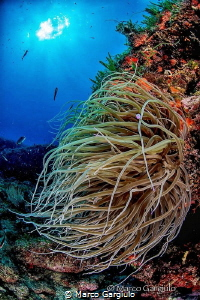 Anemonia sulcata by Marco Gargiulo