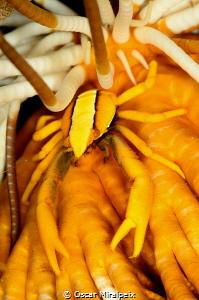 crinoid lobster by Oscar Miralpeix