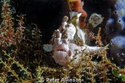 Bunaken frogfish by Peter Allinson