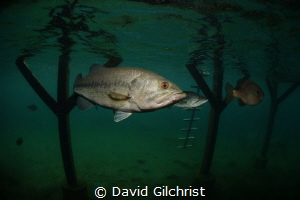 'Under the Dock' Nice size bass hanging out under dock at... by David Gilchrist