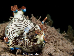 Nudibranch mating by Boaz Meiri