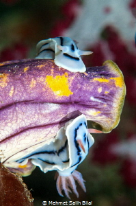 Double Chromodoris Willani on Gold-mouthed Polycarpa (Pol... by Mehmet Salih Bilal