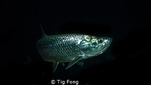 Tarpon at night. by Tig Fong