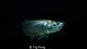 Tarpon at night. by Tig Fong