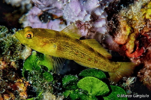 Golden Goby #2 by Marco Gargiulo