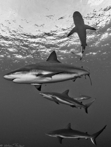5 Carcharhinus perezi by Mathieu Foulquié