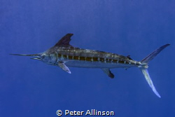 photo taken while snorkeling about 10-20 miles off the co... by Peter Allinson
