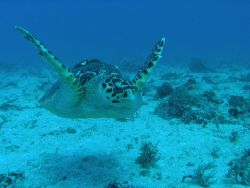 Caretta Caretta Caribbean Sea, dive site: Tortugas, Mexi... by Gordana Zdjelar