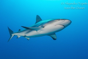 Shark in Blue, Gardens of the Queen, Cuba by Alejandro Topete