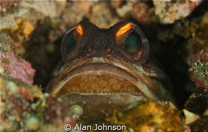 jawfish holding eggs in Lembeh by Alan Johnson