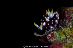 The nudi was a beauty! Goniobranchus geometricus taken at... by Marteyne Van Well