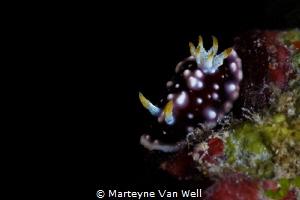 The nudi was a beauty! Goniobranchus geometricus taken at... by Marteyne Van Well
