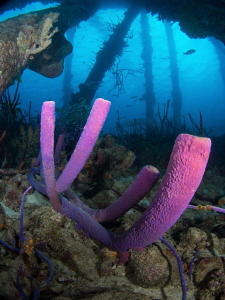 Purple sponges under Salt Pier, Bonaire by Paul Colley