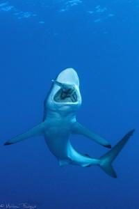 Carcharhinus falciformis by Mathieu Foulquié