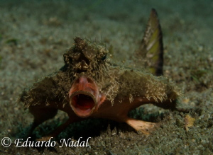 batfish by Eduardo Nadal