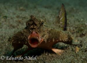 batfish by Eduardo Nadal