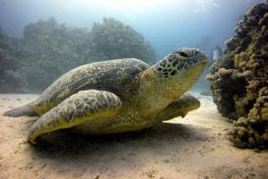 Green Turtle by Cinzia Bismarck