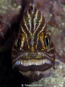 Tiger cardinalfish with eggs, Koh Haa by Tobias Reitmayr