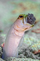 Jawfish ventilating eggs. Little Cayman by Peter Allinson