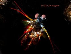 Peacock Mantis Shrimp (Odontodactylus scyllarus) @ Libert... by Elly Jeurissen