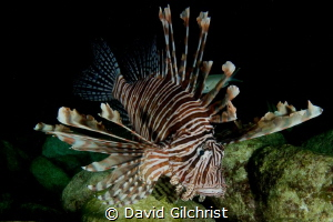 Lion Fish (Pterois volitans), Spooky Channel, Roatan Hond... by David Gilchrist