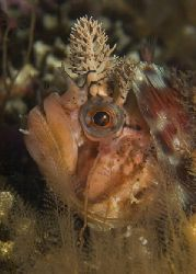 Cold water diving at its best. Decorated Warbonnet profil... by Todd Mintz