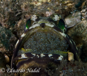 jawfish by Eduardo Nadal