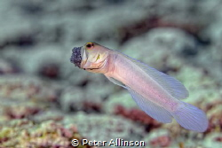 Side view of yellowheaded jawfish ventilating eggs by Peter Allinson