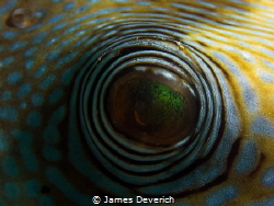 Puffer's eye by James Deverich