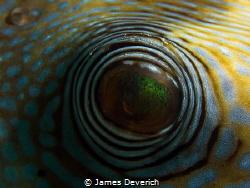 Puffer's eye by James Deverich
