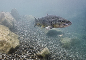 Trout. Jackdaw quarry, Lancs. Water temp = 5'C. by Mark Thomas