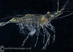 Swimming prawn. by Mark Thomas