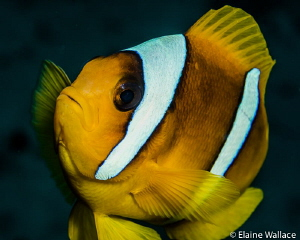2 banded anemone fish, no crop necessary as either challe... by Elaine Wallace