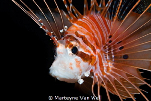 Portrait of a lion fish lite up with snoot by Marteyne Van Well