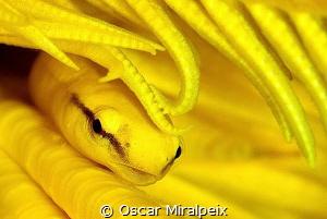 mimicry, yellow clingfish by Oscar Miralpeix