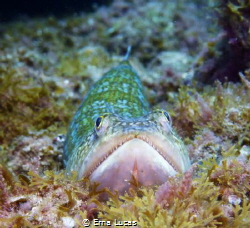 The atlantic lizardfish, el lagarto, lying in wait . Comm... by Erna Lucas