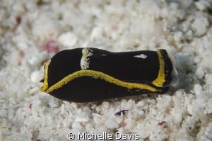 Philonopsis Pusa, Little Cayman by Michelle Davis